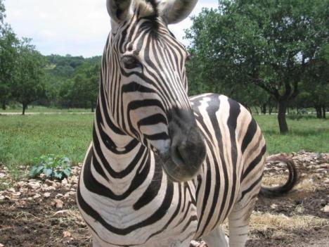 Zebra_face