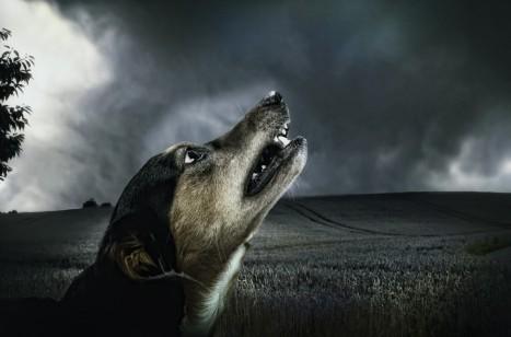 dog_dark_howl_moonlight_animal_fur_pet-1015302